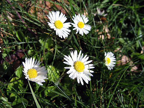 [Little daisy-like flowers]