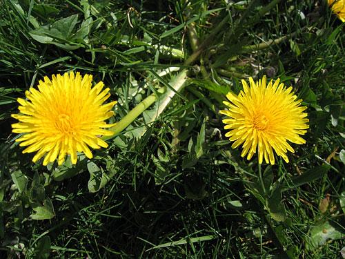 [Pair of dandelions]