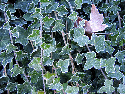 [Frost on ivy]