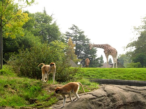 [giraffe & zebra in the background, monkeys in the foreground]