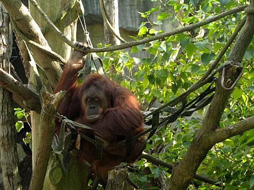 [orangutan]