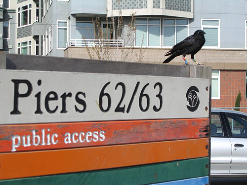 [Crow perched on Pier 62/63 sign]