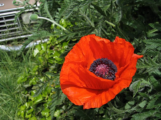 [bright orange poppy]